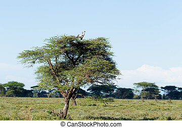 African Tree with Bird - African Tree in Semi-Dry Savannah...