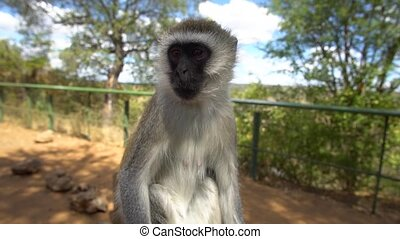 African Velvet Monkey, Close Up Slow Motion