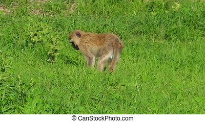 African Vervet Monkey - Vervet Monkey. Blue testicles monkey...