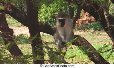African Vervet Monkey