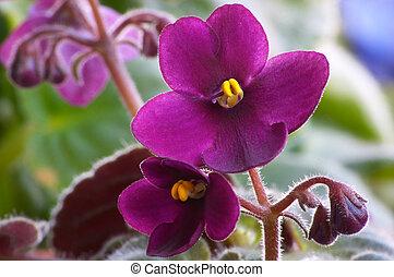 African viole #3 - Macro of African violet