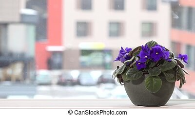 African violet flower on window sill and snowflakes fall outdoor in winter time