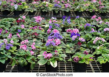 african violet in flowerpot