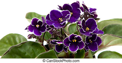african violet isolated on white
