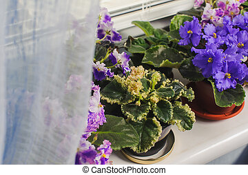 African violet, Saintpaulia flower on window sill - African...