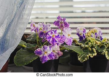 African violet, Saintpaulia flower on window sill - African ...