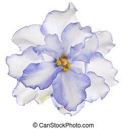african violet - Studio Shot of Blue Colored African Violet...