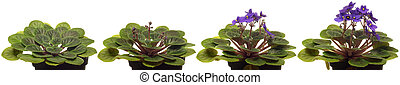 African Violet Time-lapse.