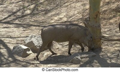 African warthog family in the wildlife - Africa. African...