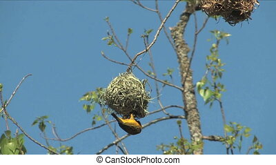 African Weaver hanging upside down from nest South Africa