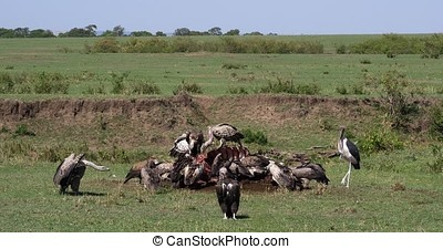 African White Backed Vulture, gyps africanus, Ruppell's Vulture, gyps rueppelli, Marabou Stork, leptoptilos crumeniferus, Group eating on Carcass, Masai Mara Park in Kenya, Real Time 4K