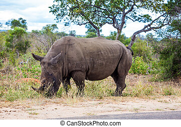 African white rhino. Famous Kruger Park - Travel to South ...