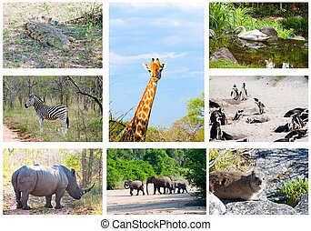 African wild animals collage, fauna diversity in Kruger...