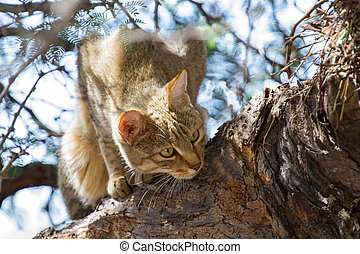 African wild cat looking for food high up