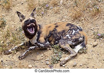 African Wild Dog (Lycaon pictus) lying on the ground showing its teeth