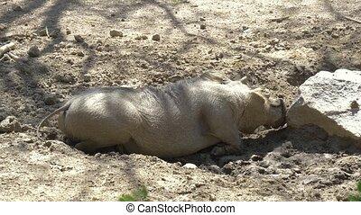 African Wild Pig - Warthog. Warthog is scratching a snout...