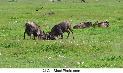African wildebeest fight