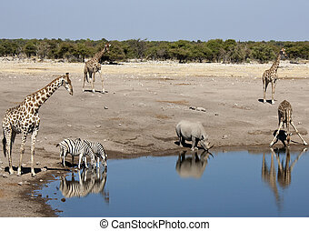 African wildlife at a waterhole in Namibia - Wildlife at a...