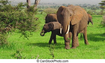 African young elephant calf - young African elephant calf in...