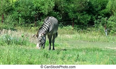 African zebra eating on the forest