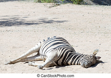 African Zebra lay down on the ground