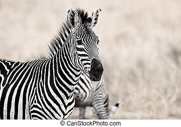 African Zebra standind in the dry savannah, Mikumi, Tanzania