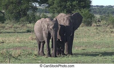 africana, ), éléphant africain, bébé, protéger, (loxodonta