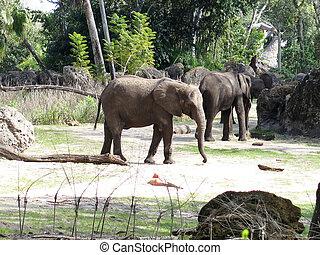 africana), (loxodonta, afrikaanse olifant