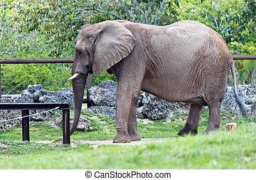 africana, loxodonta, -, afrikaanse olifant