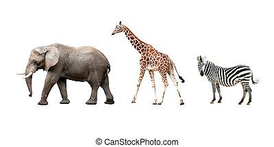 africano, animais, isolado, branco, fundo