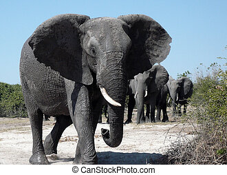 africano, -, botsuana, elefante