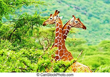 africano, família, girafas