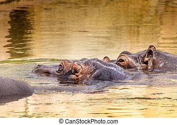 africano, ippopotamo, in, loro, naturale, habitat., kenya., africa.