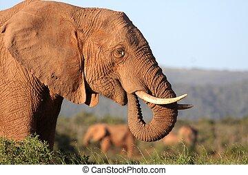 africano, mangiare, elefante