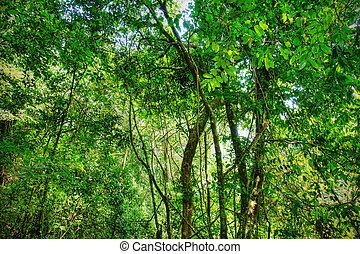 africano, sacro, foresta pluviale