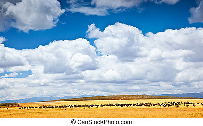 africano, sul, avestruz