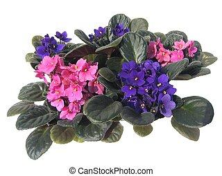 africano, violetas
