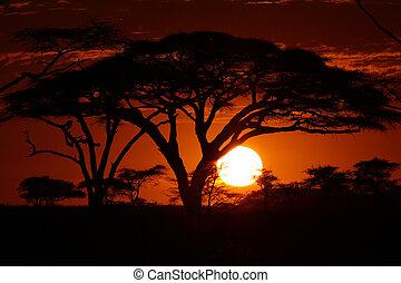 afrika, safari, ondergaande zon , in, bomen