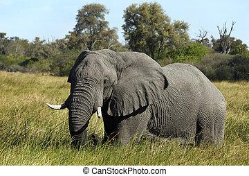 afrikaan, -, botswana, elefant