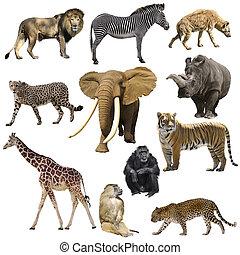 afrikaan, dieren, set