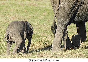 afrikaan, kalf, elefant
