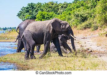 afrikaan, kudde, olifanten