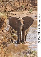 afrikaan, nyiro, uaso, elefant, banken, kenia, rivier