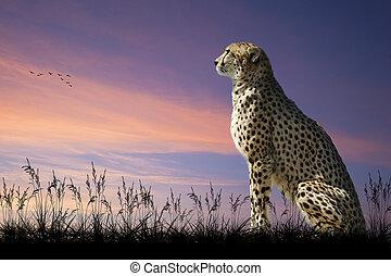 afrikaan, safari, concept, beeld, van, cheetah kijken, uit, op, savanne, met, mooi, de hemel van de zonsondergang