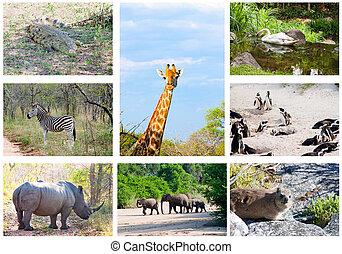 afrikaan, wilde dieren, collage, fauna, verscheidenheid, in, kruger, park, zuid-afrika