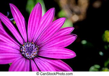 afrikaans madeliefje, bloem