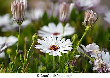 afrikaans madeliefje, witte bloem, nature., osteospermum, in, garden., campanula