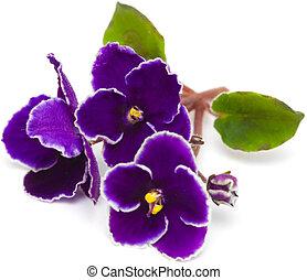 afrikaans viooltje