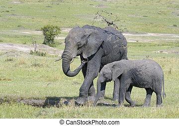 afrikaanse olifant, (loxodonta, africana)