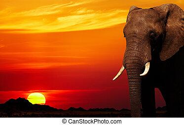 afrikaanse olifant, op, ondergaande zon